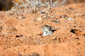 Mouse hiding in is hole in the desert — Stock Photo