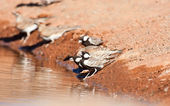 Thirsty Grey-backed Sparrow-larks — Stock Photo