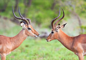 Two Impala Rams squaring off — 图库照片