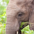 African Elephant calf — Stock Photo