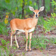 Steenbok — Stock Photo