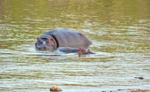 Hippo cow and calf — Stock Photo