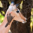 Red-billed Oxpecker on Impala - Stock Photo