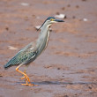 Green-backed Heron — Stock Photo #2192616