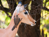 Red-billed Oxpecker on Impala — Stockfoto