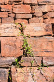 Rock wall with creeper — Stock Photo