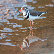 Stock Photo: Three banded plover