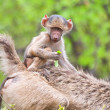Baboon baby on mother — Stock Photo