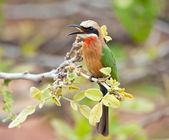 White fronted bee-eater — Stock Photo