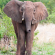 Stock Photo: Young Elephant bull