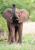 Young Elephant bull — Stock Photo