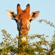 Stock Photo: Giraffe eating thorn tree