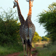Stock Photo: Two giraffe walking on track
