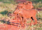 Young Warthog — Stock Photo