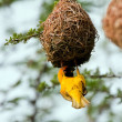 Weaver building a nest — Stock Photo