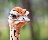 Ostrich chick closeup — Stock Photo