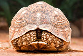 Tortoise closeup — Stock Photo
