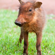 Stock Photo: Young Warthog piglet