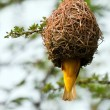 Stock Photo: Weaver building nest