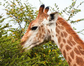 Giraffe eating thorn tree — Stock Photo