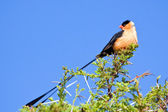 Pin-tailed whydah — Stock Photo
