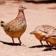 Family of Crested Francolin - Stock Photo