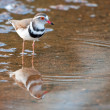 Foto Stock: Three banded plover