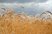 Gold field — Stock Photo