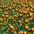 Stock Photo: Colorful tulips