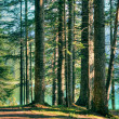 Stock Photo: Forest vegetation - trees