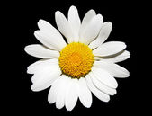 White Daisy Flower — Stock Photo