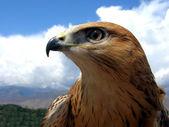 Portrait of hawk — Stockfoto