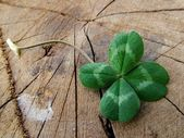 Luck - four leaves clover — Fotografia Stock