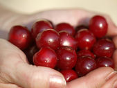 Sweet cherry fruit — Stock Photo