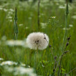 Stock Photo: Big dandelion.
