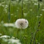 Big dandelion. — Stock Photo