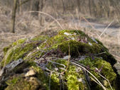 Moss, the first spring greens. — Stock Photo