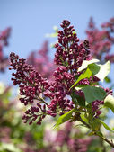 A branch of lilac. — Stock Photo
