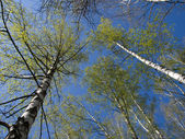 Birches and the blue sky. — Stock Photo