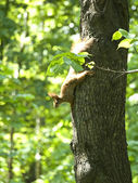 Squirrel on a tree. — Stock Photo