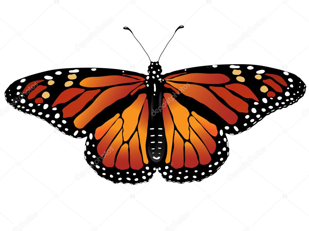 Vector illustration of monarch butterfly — Stock Vector #1799635