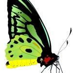 Vector illustration of butterfly — Stock Vector #1800608
