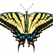 Vector illustration of Tiger Swallowtail - Stock Vector