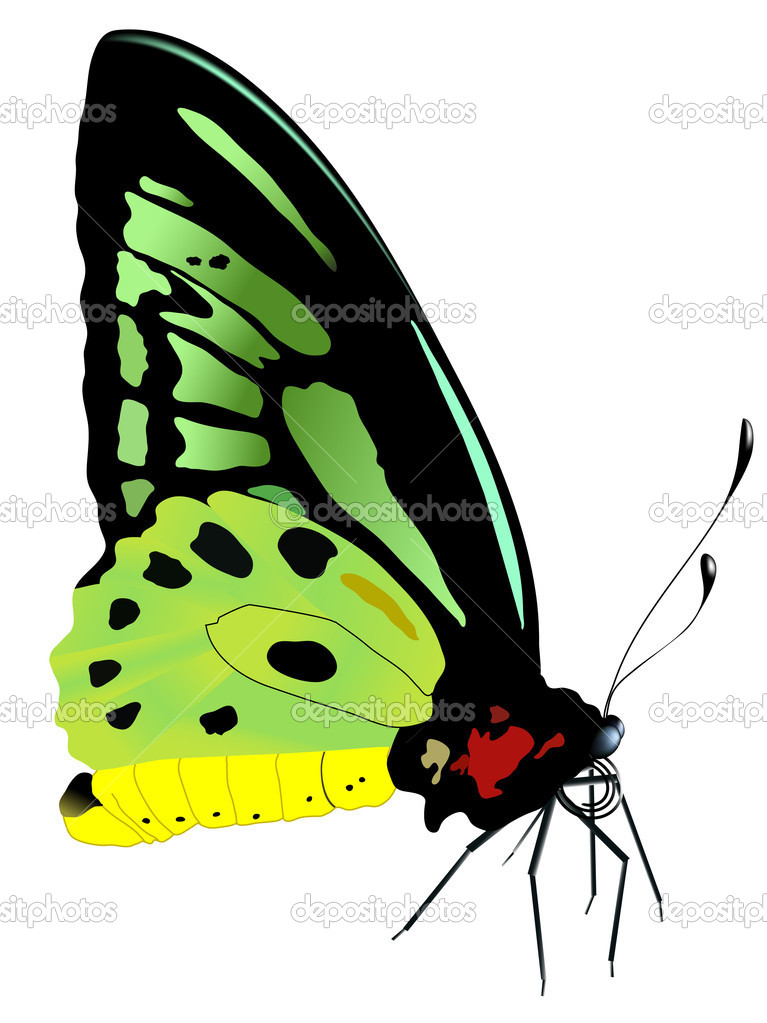 Vector illustration of   butterfly — Stock Vector #1800608