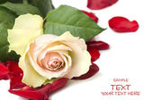Day Valentine white rose — Stock Photo