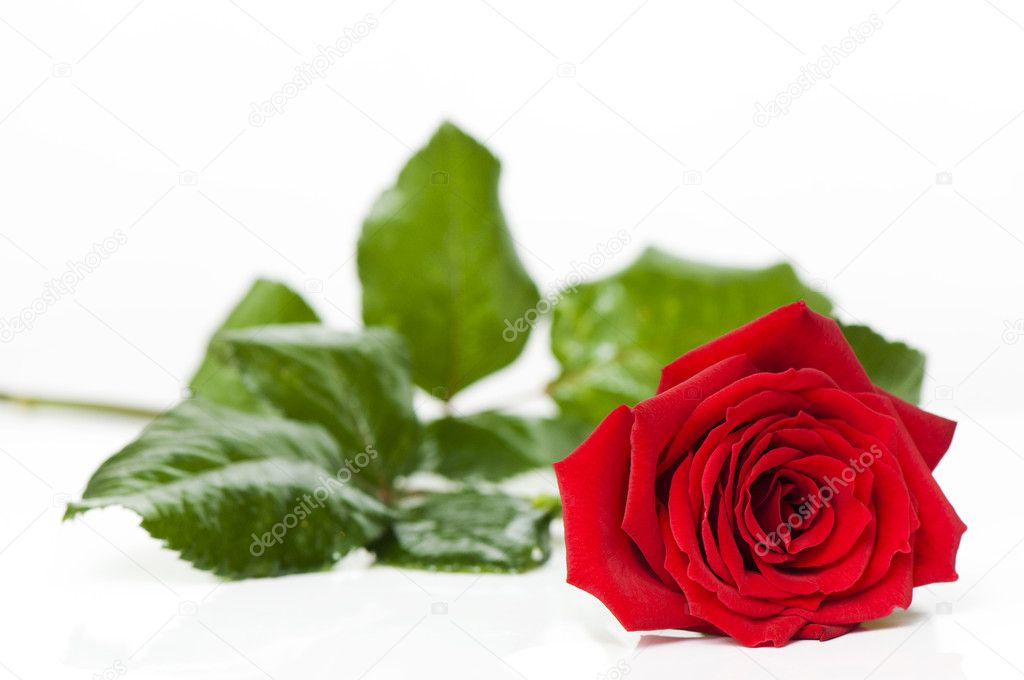 Day Valentine red rose — Stock Photo #1833831