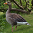 Black duck portrait — Stock Photo