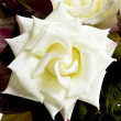 Stock Photo: White rose portarit