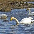 Swans — Stock Photo #2642567