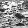 Grey-white lonely seagull - Stock Photo